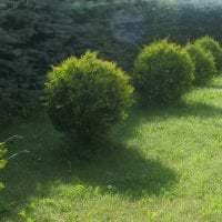 большие среднерослые хвойные деревья в ландшафтном оформлении дачного участка фото