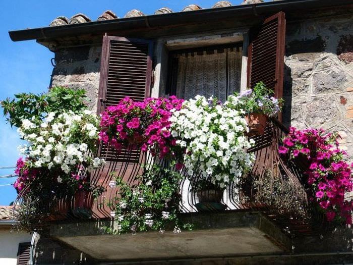 яркие цветы на балконе на полках пример