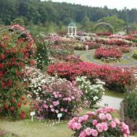 вариант применения светлых роз в ландшафтном дизайне картинка