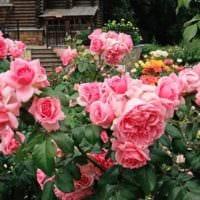 вариант использования красивых роз в дизайне двора фото