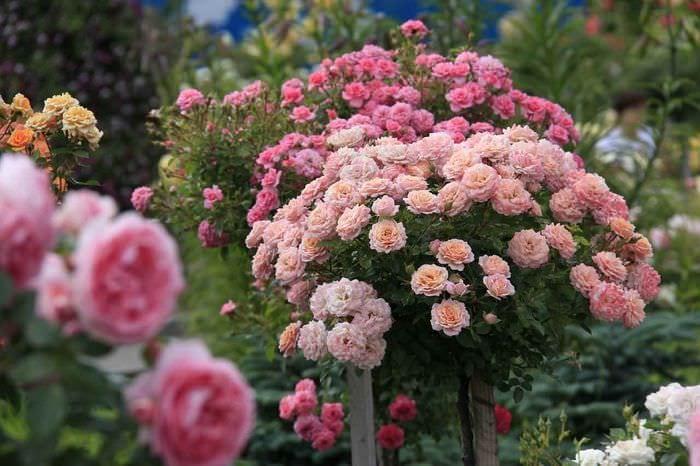 идея применения светлых роз в дизайне двора