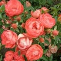 пример использования светлых роз в дизайне двора фото