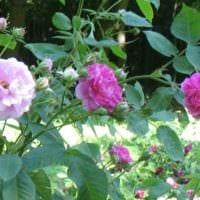 вариант применения ярких роз в дизайне двора фото