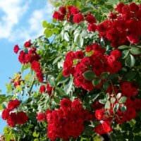 вариант применения необычных роз в дизайне двора фото