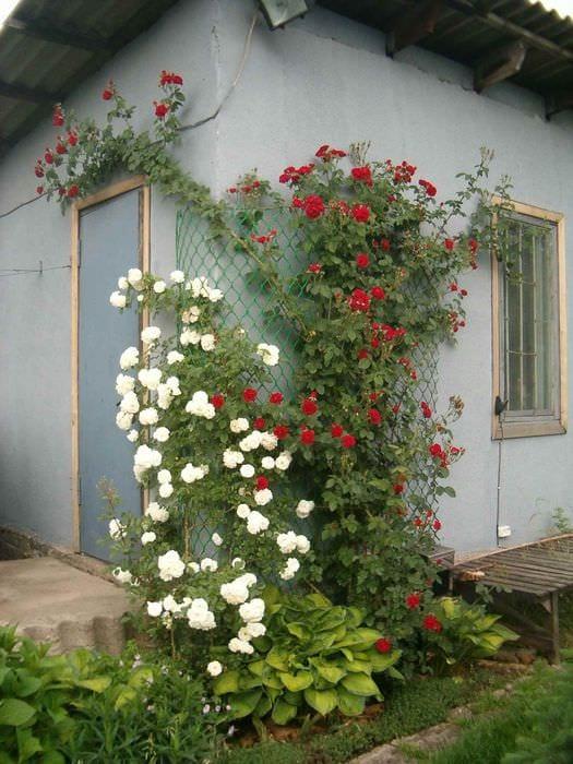 идея применения ярких роз в дизайне двора