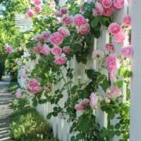 вариант использования светлых роз в ландшафтном дизайне картинка