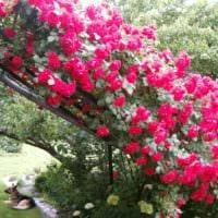 вариант использования необычных роз в ландшафтном дизайне фото