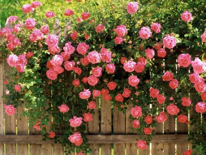 вариант использования необычных роз в дизайне двора