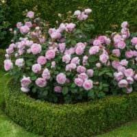 идея использования красивых роз в ландшафтном дизайне фото