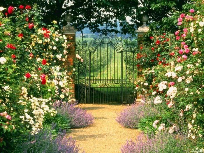 пример применения красивых роз в дизайне двора
