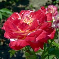 идея применения красивых роз в ландшафтном дизайне картинка