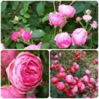 вариант применения необычных роз в дизайне двора картинка