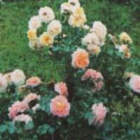 пример применения светлых роз в ландшафтном дизайне фото