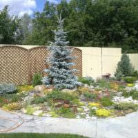 Голубая ель на садовой клумбе