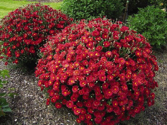 Шаровидные хризантемы в осеннем саду
