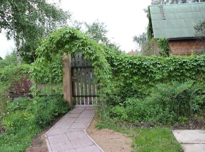 Оформление калитки садового участка с помощью девичьего винограда
