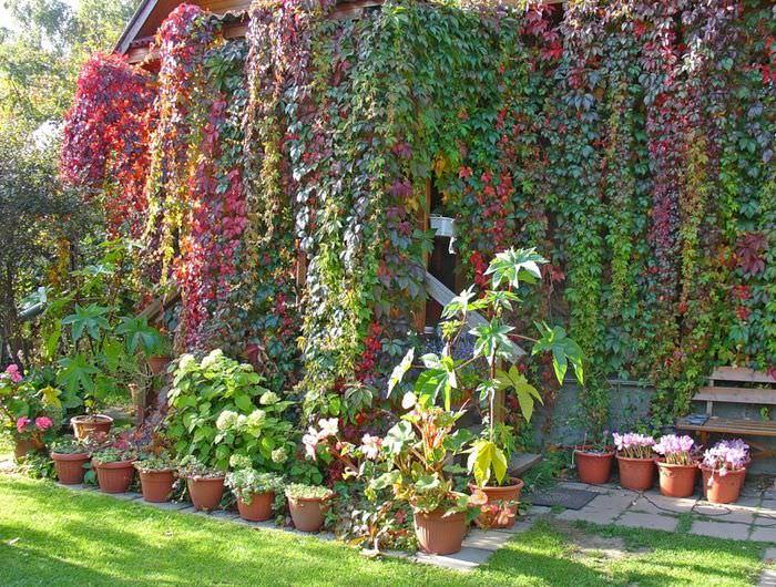 Стена загородного дома с девичьем виноградом в начале осени