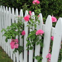 Куст розы у белого деревянного забора