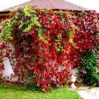 Девичий виноград на садовой беседке