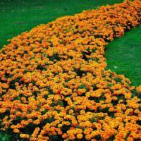 Украшения газона оранжевыми бархатцами