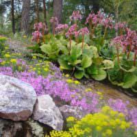 Цветущие баданы на склоне садового участка