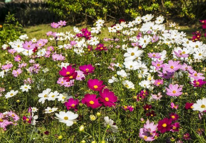 Полевые цветы в дизайне дачного участка