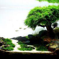 Баобаб из водорослей на дне аквариума