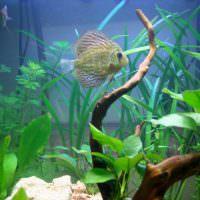 Аквариумная рыбка среди зеленых водорослей