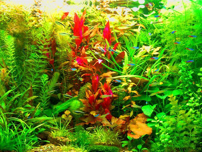 Обилие растительности в аквариуме голландского стиля