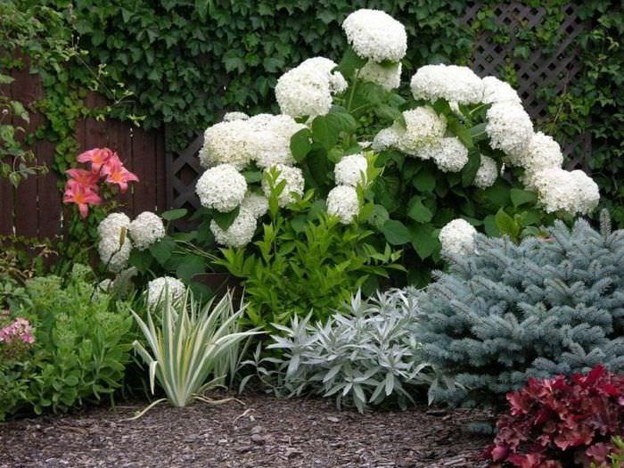 Кустик метельчатой гортензии с белыми цветами