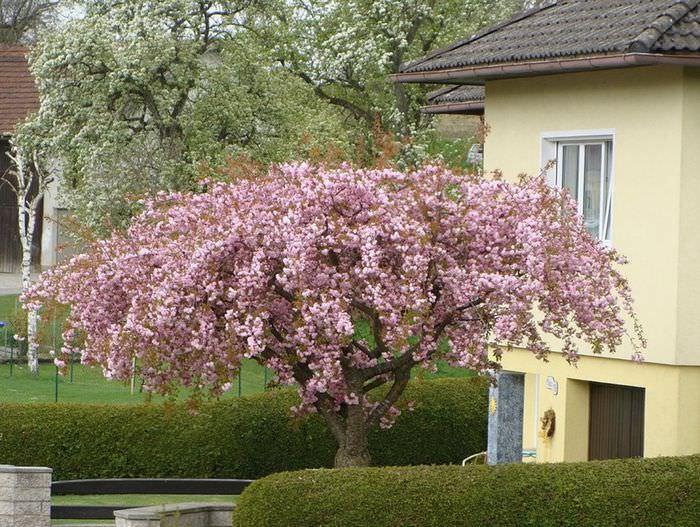 Цветение вишни декоративной в ухоженном саду