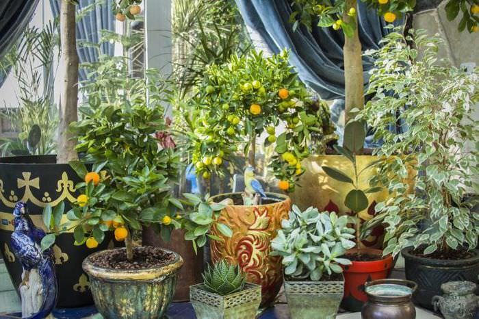 Комнатные лимоны и другие растения в зимнем саду на балконе