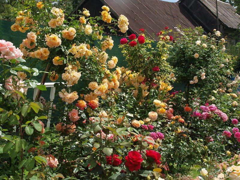 Фото розария в загородном саду