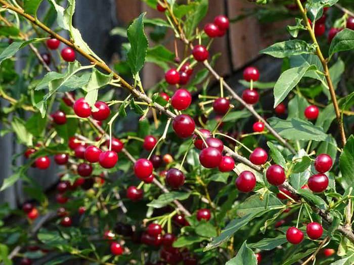 Спелые ягоды садовой вишни
