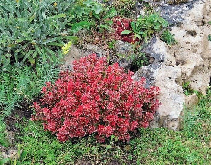 Небольшой кустик барбариса с бардовыми листьями