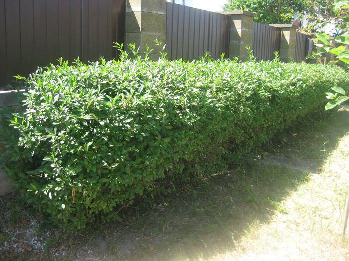 Невысокая живая изгородь вдоль забора из профлиста