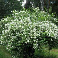 Пышный куст с белыми цветками