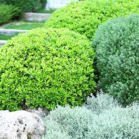 Сочетание кустарников с различным оттенком листьев