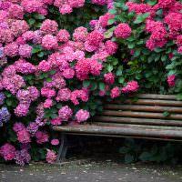 Деревянная лавочка среди цветущих гортензий