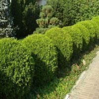 Живая изгородь из шарообразных кустарников
