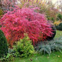 Куст спиреи с бардовыми листьями в середине осени