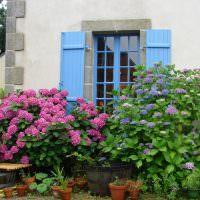 Кусты гортензии перед окнами дачного дома