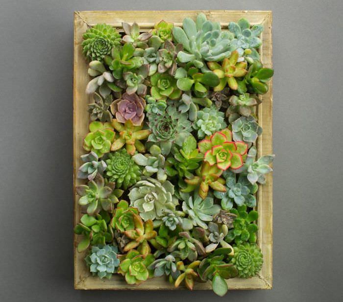 Картина из живых растений семейства суккулентов для декора комнаты