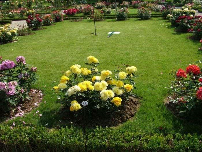 Кустики цветущих роз по периметру классического газона