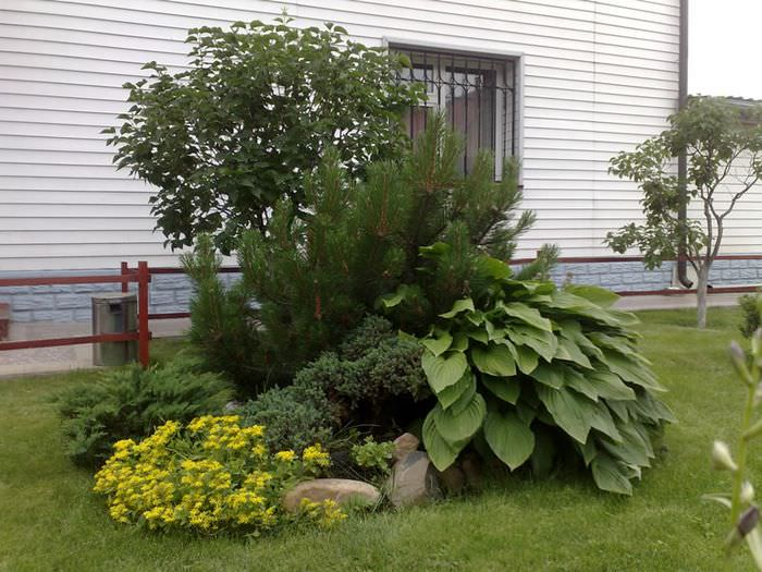 Куст хосты, растущий под вечнозелеными ветками горной сосны