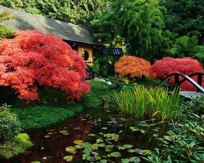 Куст японского клена на берегу искусственного водоема