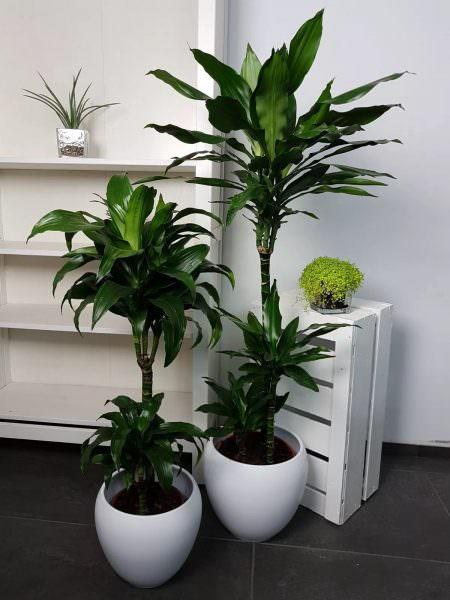 Драцена достаточно крупное растение. Его лучше использовать на больших кухнях