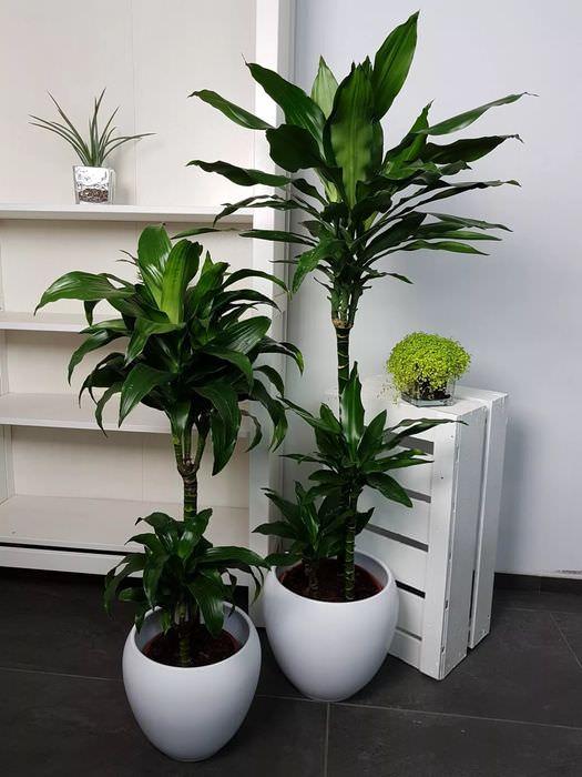 оснащен большие комнатные растения фото с названиями дочерью нее